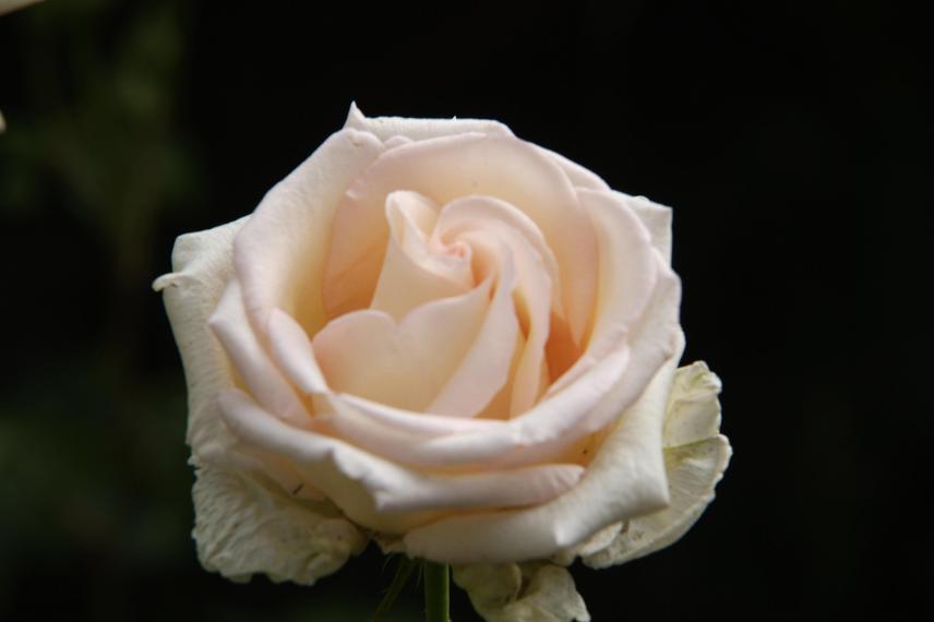 La rosa es delicada, perfumada y tiene espinas .....