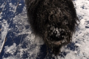 Baloo with a nice little snow in his nose
