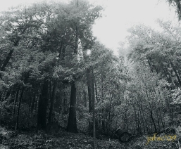 Beautiful forest in Caliofornia