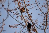 Birds eating buds