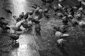 Pigeons in Barcelona