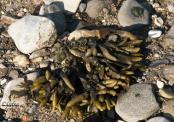 Algas on the beach