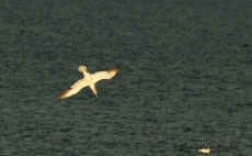Gannet fishing in the bay of Port-Daniel