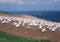 Colony of Gannets in Bonaventure Island, Percé, Gaspesie