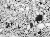 Seashells for millions in Punta de Choros
