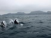 Delfines en Punta de Choros,Chile