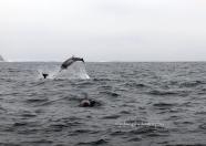 Delfines en Punta de Choros ,Chile
