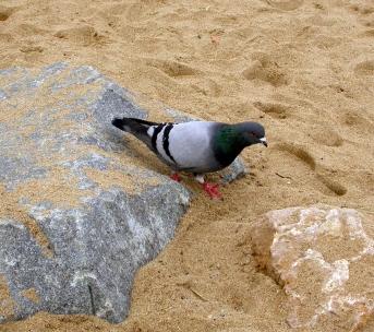 Paloma en la playa de Barcelona