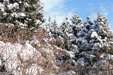 Typical view of snowed trees