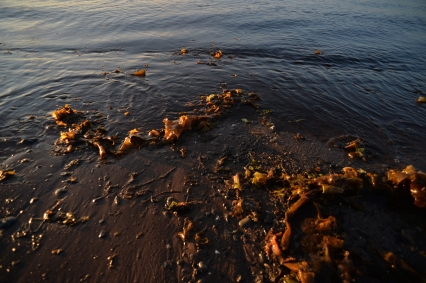 Algaes