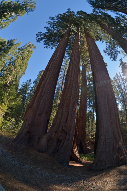 Sequoias in the King Canyon